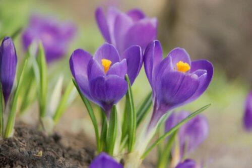 GNM flower is purple crocus